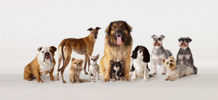 Dogs from left to right:British Boxer, Greyhound, Chihuahua, Chihuahua, Leonberger, Chihuahua, King Charles Spaniel, Schnauzer, Yorkshire Terrier, Schnauzer